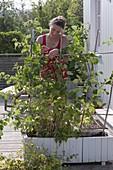 Frau bindet Ruten von Himbeere (Rubus) an