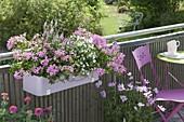 Balkon-Kasten mit Pelargonium peltatum 'Decora Lila'
