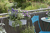 Kunststoffkasten mit Salbei 'Rotmuehle' (Salvia officinalis), Salvia farinacea