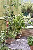 Holzkuebel mit Tomaten (Lycopersicon) unterpflanzt mit Basilikum