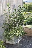 Selbstgebauter Holzkasten mit Aronia melanocarpa (Apfelbeere)