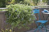 Convolvulus tricolor 'Blue Flash' (Dreifarbige Trichterwinde) im Balkonkasten