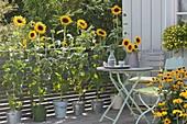 Gelber Balkon mit Helianthus annuus (Sonnenblumen) in Eimern