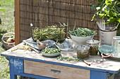 Frisch gepflueckte Buschbohnen (Phaseolus) zum einwecken
