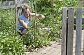 Beet mit Tomaten und Ringelblumen im Biogarten anlegen