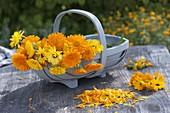 Korb mit frisch gepflueckten Calendula (Ringelblumen)