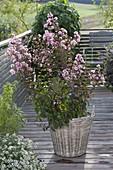 Lagerstroemia indica 'Rhapsody In Pink' (Kraeuselmyrte) im Korb