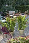 Crocosmia x crocosmiiflora 'Red King' (Montbretien) und Mangold 'Feurio'