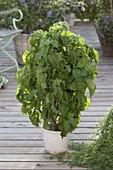 Grüner Shiso (Perilla frutescens), japanisches Wuerzkraut