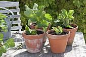 Ableger von Erdbeeren einpflanzen