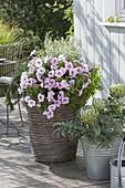 Petunia Famous 'White Rose Vein' (Petunie) mit Calamintha (Bergminze