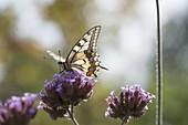 Verbena bonariensis (Eisenkraut) mit Schwalbenschwanz - Schmetterling