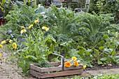 Gemüsebeet mit Grünkohl (Brassica), Calendula (Ringelblumen)