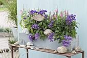Holzkasten mit Heliotropium (Vanilleblumen) und Veronica spicata