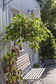 Eimer als Ampeltopf bepflanzt mit Feuerbohne 'Hestia' (Phaseolus)