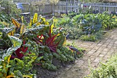 Mangold 'Bright Lights' und 'Vulkan' (Beta vulgaris) auf Huegelbeet