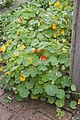 Tropaeolum majus (Kapuzinerkresse) im Gemüsegarten