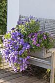 Selbstgebauter Holzkasten mit Petunia Surfinia 'Sky Blue' (Petunien)