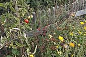 Tomate (Lycopersicon), Spargeltrieb mit roten Beeren (Asparagus)