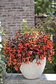 Begonia Summerwings 'Ebony and Orange' (Haengebegonie)