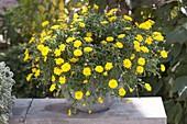 Calendula Powerdaisy 'Sunny' (Ringelblumen) im grauen Kübel
