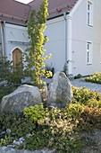 Vorgarten mit Findlingen, Quercus robur 'Fastigiata'