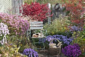 Stuhl im Herbstgarten zwischen Aster (Herbstastern), Euonymus