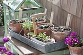 Tontoepfe mit pikierten Jungpflanzen von Tomaten (Lycopersicon)