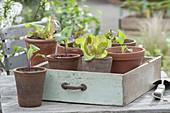 Jungpflanzen von Salat (Lactuca) und Kohlrabi (Brassica)