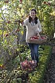 Frau pflückt Äpfel (Malus) im Bauerngarten, Apfelbaum im Beet
