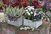 Calluna Garden Girls 'Alicia' (Knospenheide), Chrysanthemum