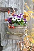 Viola cornuta (Hornveilchen) in Terracotta-Topf an alte Türe gehängt