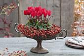 Alte Obstschale mit Fuß bepflanzt mit Cyclamen (Alpenveilchen), Rosa