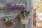 Viola cornuta (Hornveilchen) in Terracotta-Topf und Körbchen