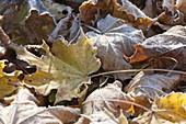 Rauhreif auf Herbstlaub - gelbe und braune Blätter von Acer (Ahorn)