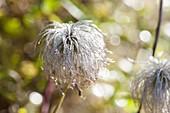 Samenstand von Clematis (Waldrebe) mit feinen Wassertropfen