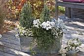 Pernettya (Torfmyrten), Chrysanthemum (Herbstchrysantheme)
