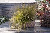 Verschiedene Carex (Seggen) zusammen im Terracottakasten