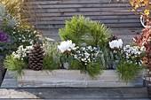Grün-weiss bepflanzter Herbstkasten : Pinus (Kiefer), Pernettya