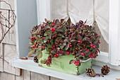 Alte Schublade am Fenster bepflanzt mit Gaultheria procumbens