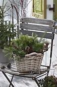 Korb mit Abies (Tannenzweigen) und Zapfen auf Stuhl, Gartenschere