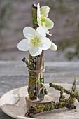 Blüten von Helleborus niger (Christrose) in Floristenroehrchen