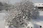 Rosa multiflora (Vielblütige Rose) im Schnee