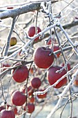 Red apples (malus) on twigs with hoarfrost
