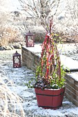 Holzkuebel mit Hedera (Efeu) und Gaultheria procumbens (Scheinbeere)