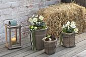 Christrosen mit Winterschutz auf der Terrasse