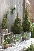 Picea glauca 'Conica' (Zuckerhutfichten), Galanthus nivalis