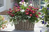 Korb-Jardiniere bepflanzt mit Bracteantha 'Red Purple' 'White'