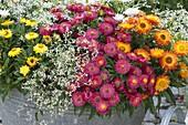 Alte Zinkwanne bepflanzt mit Bracteantha 'Red Purple' 'Sunbrella Orange'