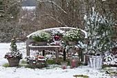 Holzbank weihnachtlich mit Pinus (Kiefer), Picea (Fichte),